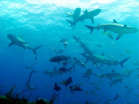 Recent rise of shark attacks demands greater precaution