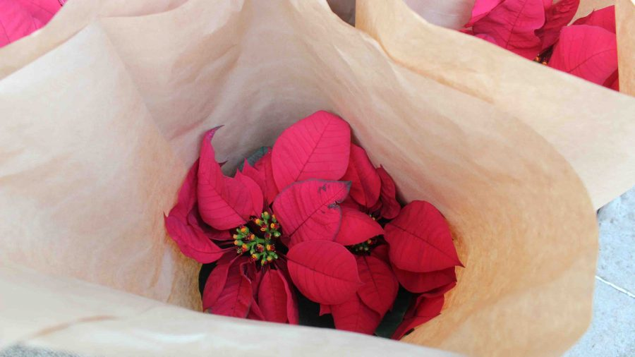 Poinsettias+lined+up+in+the+front+of+the+Sacred+Hearts+Academy+campus+to+help+expedite+distribution.